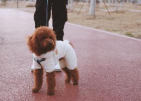 寻狗启示,新站区陶冲湖城市广场一直只棕色泰迪走失,它是一只非常可爱的宠物狗狗,希望它早日回家,不要变成流浪狗。