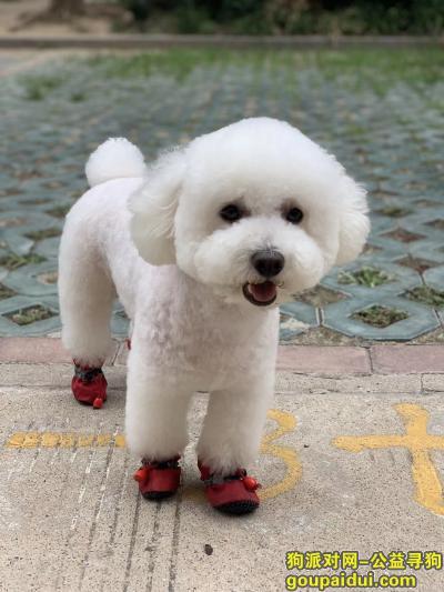 宿迁找狗,8月29号在宿迁义乌商贸城走失白色比熊,它是一只非常可爱的宠物狗狗,希望它早日回家,不要变成流浪狗。