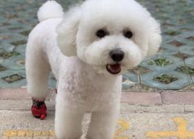 寻狗启示,8月29号在宿迁义乌商贸城走失白色比熊,它是一只非常可爱的宠物狗狗,希望它早日回家,不要变成流浪狗。