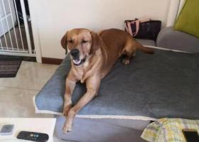 寻狗启示,天津华明镇日月湾广场走丢拉布拉多一只,它是一只非常可爱的宠物狗狗,希望它早日回家,不要变成流浪狗。