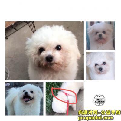 台州寻狗启示,8月28号号,海棠新村丢失一条白色比熊串串,背上背了红色牵引绳,它是一只非常可爱的宠物狗狗,希望它早日回家,不要变成流浪狗。