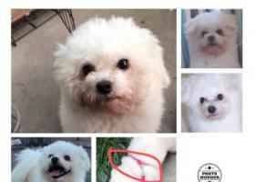 寻狗启示,8月28号号,海棠新村丢失一条白色比熊串串,背上背了红色牵引绳,它是一只非常可爱的宠物狗狗,希望它早日回家,不要变成流浪狗。