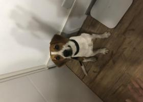 寻狗启示,九亭捡到一只比格犬,请主人联系,它是一只非常可爱的宠物狗狗,希望它早日回家,不要变成流浪狗。