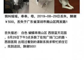 寻狗启示,#寻狗启示 悬赏500深圳南山西丽 白色蝴蝶串8.29,16点跑了,西丽医院出现过,联系13510192102,它是一只非常可爱的宠物狗狗,希望它早日回家,不要变成流浪狗。