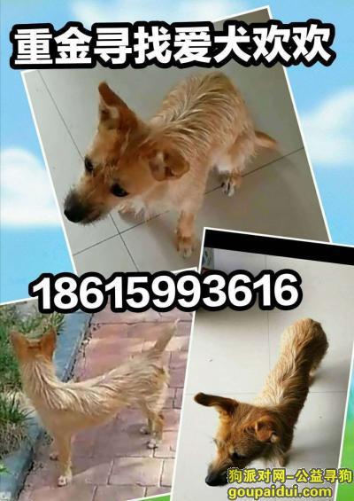 ,寻找爱犬欢欢~皇色小串子母狗,它是一只非常可爱的宠物狗狗,希望它早日回家,不要变成流浪狗。
