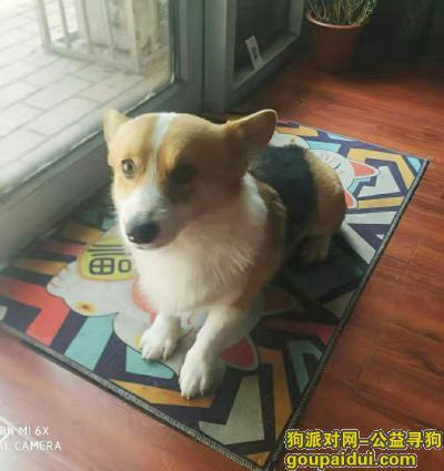 ,山东德州一岁半柯基丢失,它是一只非常可爱的宠物狗狗,希望它早日回家,不要变成流浪狗。