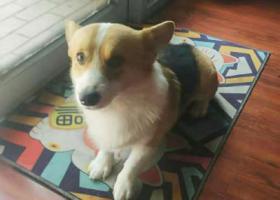 寻狗启示,山东德州一岁半柯基丢失,它是一只非常可爱的宠物狗狗,希望它早日回家,不要变成流浪狗。