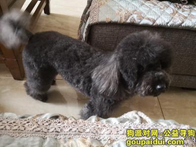 保定寻狗启示,徐水区丢失一只黑色小泰迪,它是一只非常可爱的宠物狗狗,希望它早日回家,不要变成流浪狗。
