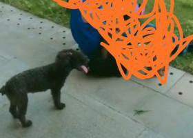 寻狗启示,中山东凤,寻黑色母泰迪,不问过程,即酬一千,它是一只非常可爱的宠物狗狗,希望它早日回家,不要变成流浪狗。