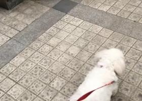 寻狗启示,重金寻狗,走丢的小比熊,它是一只非常可爱的宠物狗狗,希望它早日回家,不要变成流浪狗。