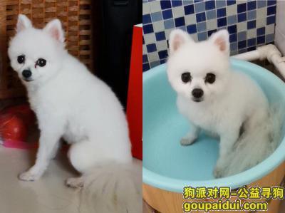 ,白色博美犬走失于东营市东城北一路锦华夏园附近!!,它是一只非常可爱的宠物狗狗,希望它早日回家,不要变成流浪狗。