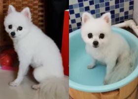 寻狗启示,白色博美犬走失于东营市东城北一路锦华夏园附近!!,它是一只非常可爱的宠物狗狗,希望它早日回家,不要变成流浪狗。