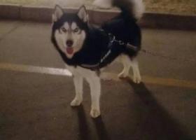 寻狗启示,鹿泉区寻狗哈士奇急急,它是一只非常可爱的宠物狗狗,希望它早日回家,不要变成流浪狗。