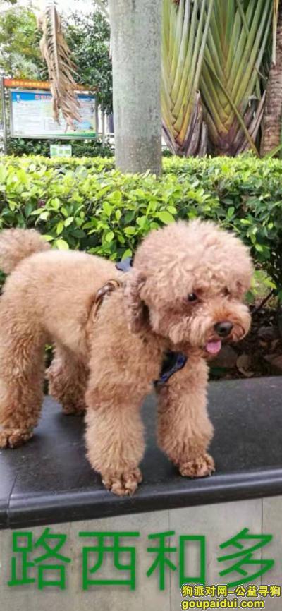 海口丢狗,寻找棕色剃毛了的公泰迪,它是一只非常可爱的宠物狗狗,希望它早日回家,不要变成流浪狗。