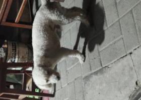 寻狗启示,北京东城区和平里一带谁丢了白色泰迪?,它是一只非常可爱的宠物狗狗,希望它早日回家,不要变成流浪狗。