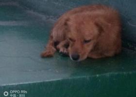 寻狗启示,从哪跑来小狗,主人快来领,小狗被雨淋湿在发抖。,它是一只非常可爱的宠物狗狗,希望它早日回家,不要变成流浪狗。
