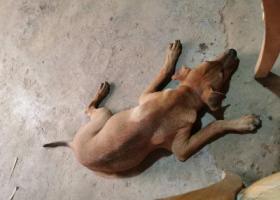 寻狗启示,有偿(500)寻狗,2019-9-2龙岭中学附近走失,它是一只非常可爱的宠物狗狗,希望它早日回家,不要变成流浪狗。