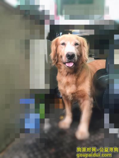 寻狗启示,捡到一只金毛,母的,位于南山跟宝安之间,它是一只非常可爱的宠物狗狗,希望它早日回家,不要变成流浪狗。