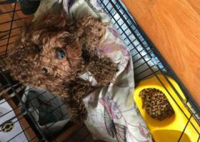 寻狗启示,1000元重金寻找泰迪狗,它是一只非常可爱的宠物狗狗,希望它早日回家,不要变成流浪狗。
