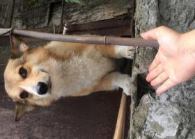 寻狗启示,2000元重金寻找柯基!!,它是一只非常可爱的宠物狗狗,希望它早日回家,不要变成流浪狗。