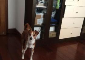 寻狗启示,悬赏1万寻找中华田园犬,它是一只非常可爱的宠物狗狗,希望它早日回家,不要变成流浪狗。