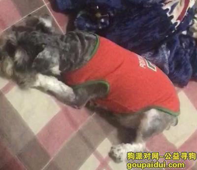 ,寻找爱宠—----雪纳瑞,它是一只非常可爱的宠物狗狗,希望它早日回家,不要变成流浪狗。