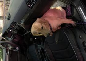 寻狗启示,寻找母金毛11个月大,它是一只非常可爱的宠物狗狗,希望它早日回家,不要变成流浪狗。