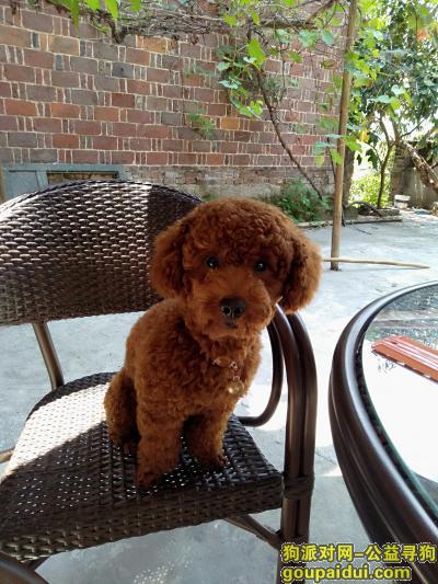 ,千元寻泰迪犬,希望各位好心朋友帮帮忙,它是一只非常可爱的宠物狗狗,希望它早日回家,不要变成流浪狗。