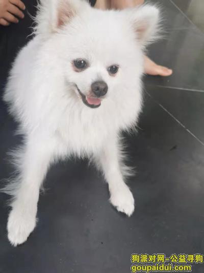 寻狗启示,8.31合肥火车站捡到小博美一只,它是一只非常可爱的宠物狗狗,希望它早日回家,不要变成流浪狗。