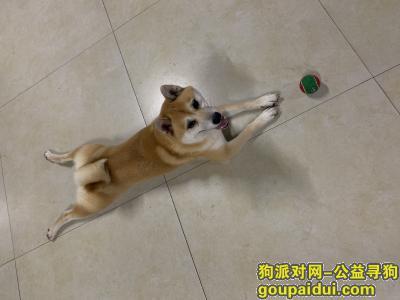 抚顺寻狗网,请大家帮忙寻找一只柴犬,它是一只非常可爱的宠物狗狗,希望它早日回家,不要变成流浪狗。