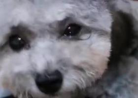 寻狗启示,寻找走失爱犬灰泰迪乐乐,它是一只非常可爱的宠物狗狗,希望它早日回家,不要变成流浪狗。
