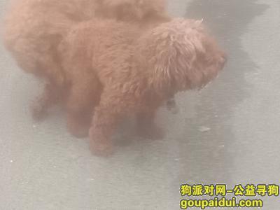 寻狗启示,宏力大道西段右倡照明附近,它是一只非常可爱的宠物狗狗,希望它早日回家,不要变成流浪狗。