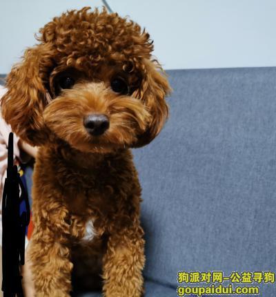 泉州丢狗,泉州寻狗希望有人能看到他,它是一只非常可爱的宠物狗狗,希望它早日回家,不要变成流浪狗。