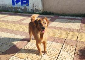 寻狗启示,昆明捞鱼河湿地公园走失一只金毛,它是一只非常可爱的宠物狗狗,希望它早日回家,不要变成流浪狗。