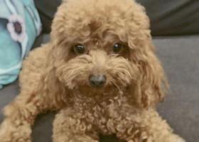 寻狗启示,5000寻棕色泰迪天津西青张家窝,它是一只非常可爱的宠物狗狗,希望它早日回家,不要变成流浪狗。