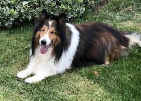 寻狗启示,喜乐蒂牧羊犬濮北新区龙湖走失,它是一只非常可爱的宠物狗狗,希望它早日回家,不要变成流浪狗。