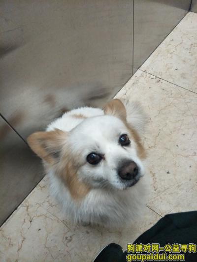 寻狗启示,寻找丢失的懂事小型爱犬,它是一只非常可爱的宠物狗狗,希望它早日回家,不要变成流浪狗。
