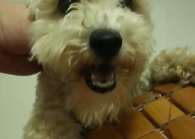 寻狗启示,寻一只米白色泰迪,短腿,没尾巴。叫小白,它是一只非常可爱的宠物狗狗,希望它早日回家,不要变成流浪狗。