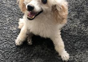 寻狗启示,2019年9月11日下午4点,在天桥区堤口路白癜风医院附近捡到贵宾一只,它是一只非常可爱的宠物狗狗,希望它早日回家,不要变成流浪狗。