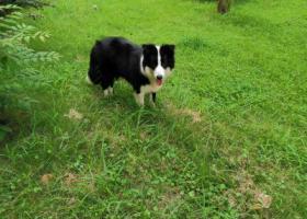 寻狗启示,黑白边牧一岁,请捡到的好心人送回,重谢!,它是一只非常可爱的宠物狗狗,希望它早日回家,不要变成流浪狗。
