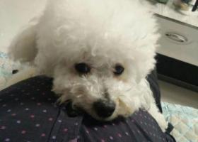 寻狗启示,濮阳华龙区茂名路苏北路交叉口诚城超市门口丢失一只白色泰迪,它是一只非常可爱的宠物狗狗,希望它早日回家,不要变成流浪狗。