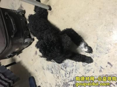 寻狗启示,在西康路河海大学附近捡到一只公泰迪,它是一只非常可爱的宠物狗狗,希望它早日回家,不要变成流浪狗。