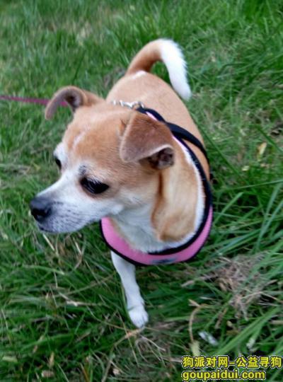 寻狗启示,爱犬娜娜早日平安回家 再续前缘,它是一只非常可爱的宠物狗狗,希望它早日回家,不要变成流浪狗。