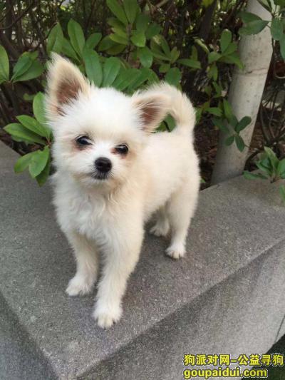 【合肥找狗】,万元重金诚心寻找爱宠博美串串,请好心收留人士与我联系,它是一只非常可爱的宠物狗狗,希望它早日回家,不要变成流浪狗。