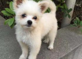 寻狗启示,万元重金诚心寻找爱宠博美串串,请好心收留人士与我联系,它是一只非常可爱的宠物狗狗,希望它早日回家,不要变成流浪狗。