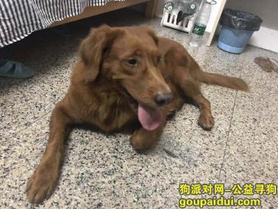 寻狗启示,在南城鸿福路口公交站捡到金毛一只,,它是一只非常可爱的宠物狗狗,希望它早日回家,不要变成流浪狗。