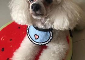 寻狗启示,白色贵宾9.10走丢,它是一只非常可爱的宠物狗狗,希望它早日回家,不要变成流浪狗。