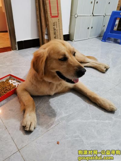 ,福州上街镇捡到金毛一只,,它是一只非常可爱的宠物狗狗,希望它早日回家,不要变成流浪狗。