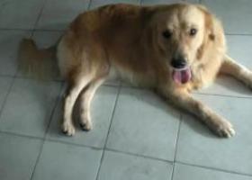 寻狗启示,恳请深圳的朋友帮忙转发 寻找爱犬DOGGY,它是一只非常可爱的宠物狗狗,希望它早日回家,不要变成流浪狗。
