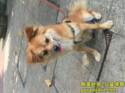 桂林寻狗启示,捡到串串蝴蝶犬小狗,寻找主人,它是一只非常可爱的宠物狗狗,希望它早日回家,不要变成流浪狗。